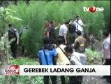 Polisi Temukan 5 Hektare Ladang Ganja di Musi Rawas Utara