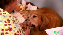 Growing Up Golden: Golden Retriever Puppies | Too Cute!