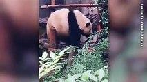 Ein Juckreiz am Rücken kann ganz schön nervig sein. Besonders, wennman kurze Arme hat - so wie etwa dieser Panda. Doch das pelzige Tier weiß sich zu helfen.