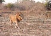Strolling Lions Roar Near Safari Group