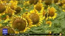 뜨거운 태양의 꽃 해바리기 만개