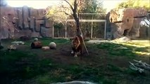 Why you don't roar at lions...