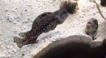 Deux poissons ont un gros conflit de voisinage dans un aquarium !