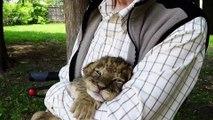 Le rugissement de ce bébé tigre est adorable