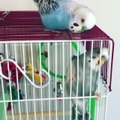 Budgie Bird Uses Bad Words While Talking to Friend