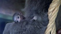 Prague Zoo welcomes cute new primate