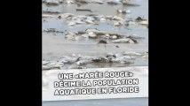 Une «marée rouge» décime la population aquatique en Floride