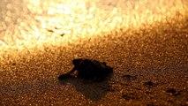Chypre : les tortues vertes en bonne santé