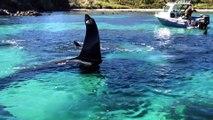 Ce plongeur nage au plus près des orques en Nouvelle-zélande : magnifique