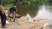 Un cobra royal gigantesque remis en liberté