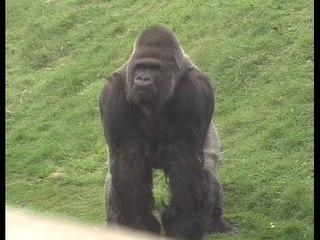 Jambo the Gorilla - The Gentle Giant - Documentary