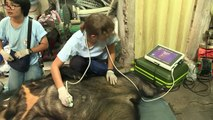 Vietnam: deux ours libérés après 13 années dans des cages