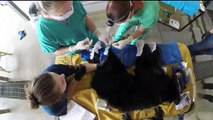 Vets Use Fish Skin to Treat Bear Cub Burned in California Wildfire