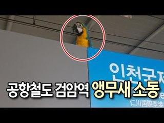 공항철도 검암역 앵무새 소동…쫓기다가 주인과 극적 상봉 / 연합뉴스 (Yonhapnews)