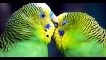 Budgies Parrots Breeding Tips in (Urdu_Hindi) BUDGIES KINGDOM with Hasnat RAJPOOT - YouTube