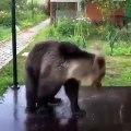 Un ours joue comme un fou dans une flaque d'eau
