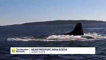 Amazing moment humpback whale breaches