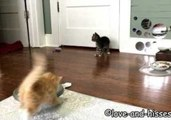 Seven-Week-Old Kittens Toss and Tumble Around the House