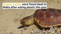 #Plastics have already killed 20 #turtles in Malta. Another 40 were found injured.Read more on  Photos by  mirabelliand Chris Sant Fournier#animalcruelty #m