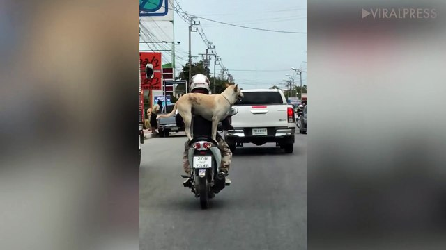 Dog Stands Up And Sits Down While Riding Pillion On Moped