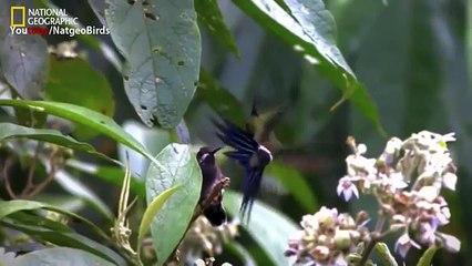 Documentary Humming Beautiful Birds National Geographic