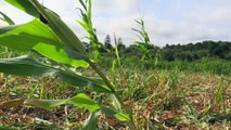"""Ille-et-Vilaine : """"envahis"""" par des sangliers """"ravageurs"""", les paysans inquiets"""