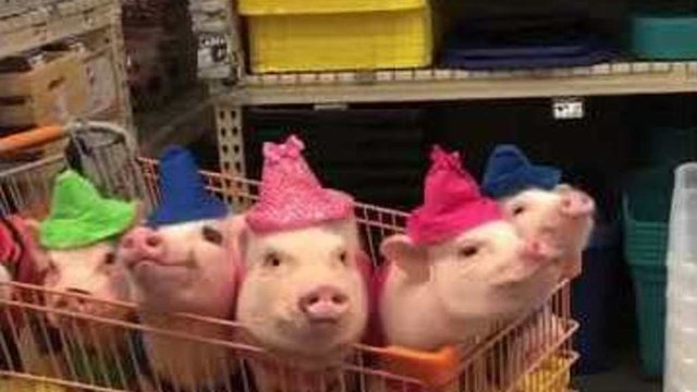 Five Pigs and a Pug Bring a New Meaning to Back-to-School Shopping