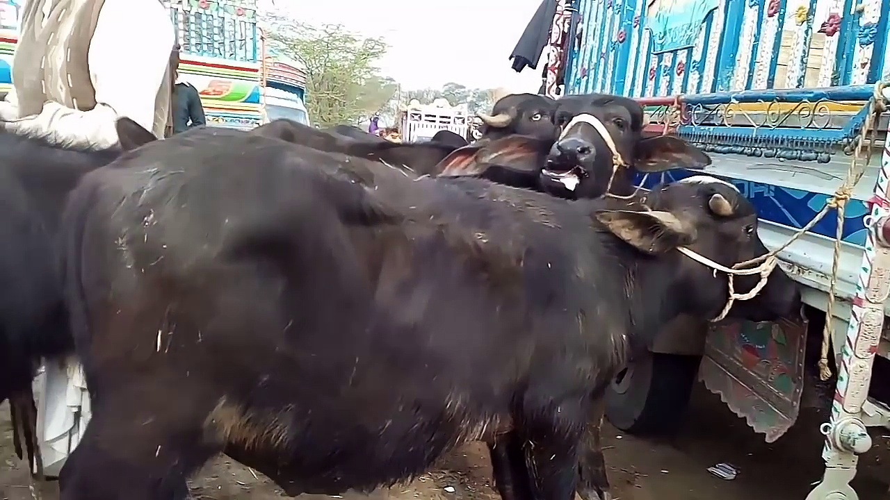 Kattay palna in Urdu Hindi  Buffalo calves farming  Sasta tareqa kattay vachay ke farming ka