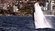 Une baleine fait le show devant des touristes émerveillés... Sauts incroyables
