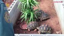 Spanish police have dismantled Europe's biggest illegal turtle and tortoise farm, seizing over 1,100 of the animals. Almost all turtle species are endangered: T