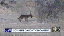 Pack of coyotes roaming Phoenix neighborhood worries residents