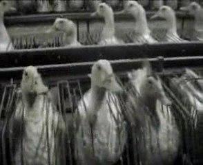 Foie Gras : Le gavage