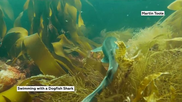 Swimming With Dogfish Sharks!