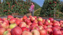 US Cherry Growers Were Stung By Trump's Trade War. Are Apple Growers Next?