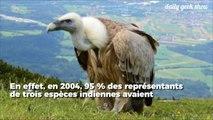 Le vautour est en danger et ce n'est pas une bonne nouvelle pour l'homme