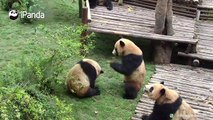 - Attention everyone. This video is to show you that we giant pandas don't always act cute. We fight fiercely too!- Yeah, you do fight, but you act cute even w