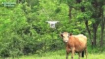 Chien de berger allemand Bubu Le rencontre DJI Phantom 4 Quadcopter pour la première fois