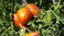 Jardin - Les tomates sont à la fête !