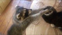 Un raton laveur vient embeter un chat