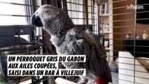 Un perroquet gris du Gabon aux ailes coupées, saisi dans un bar à Villejuif