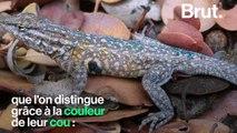 """Quand la nature joue à """"pierre-feuille-ciseau"""" pour maintenir l'équilibre entre des lézards"""