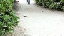 A Clichy, les rats prolifèrent