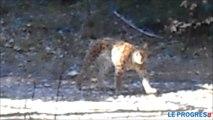 Deux lynx filmés en plein jour dans la forêt du Valromey