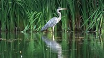 Grey herons, kingfishers, snake and a turtle