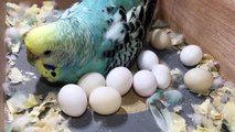 Budgie Has Too Many Eggs