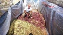 Manisa Alaşehir'de Sumalık Üzüm Fiyatları Üreticinin Yüzünü Güldürdü