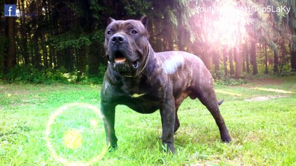 Tốp 5 Lạ Kỳ- Top 5 Loài Chó Hung Dữ Và Nguy Hiểm Nhất Thế Giới!!!