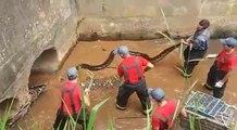 Ces ouvriers découvrent un énorme anaconda dans une canalisation