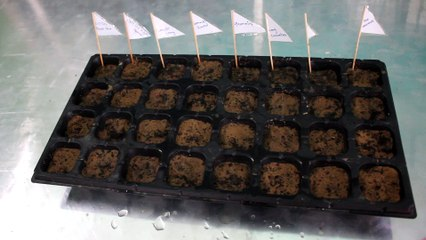 SEED GERMINATION experiment in GREENHOUSE