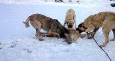 Kurt Saldırılarının Arttığı İtalya, Kangal Köpeklerini Tartışıyor